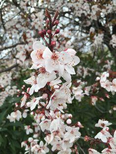 Fleur de prunes