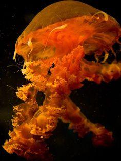 Pacific Coast Jellyfish!