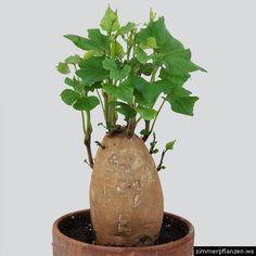 s kartoffeln pflanzen pflegen ernten sabine pinterest garten pflanzen und garten pflanzen. Black Bedroom Furniture Sets. Home Design Ideas