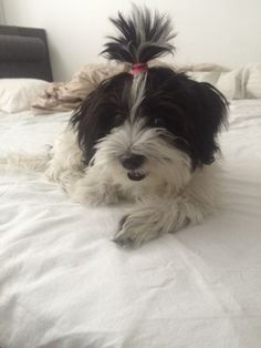 My havanese puppy