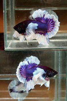 Betta fist are a fun beautiful fish that many people can have in their home with minimal effort. Pretty Fish, Beautiful Fish, Animals Beautiful, Freshwater Aquarium Fish, Betta Aquarium, Colorful Fish, Tropical Fish, Chien Golden Retriever, Betta Fish Care