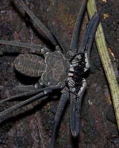 A large whip spider (Heterophrynus sp) from the Peruvian Amazon, detail of the spiky pedipals.