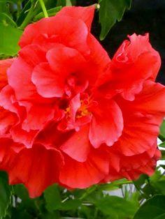 Carnation Hibiscus