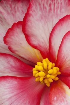 Macro View Of A Variegated Begonia Flower Canvas Art - John Delapp Design Pics x Flowers Nature, Exotic Flowers, Amazing Flowers, Pretty Flowers, Beautiful Flowers Pictures, Beautiful Flowers Wallpapers, Yellow Flowers, Beautiful Images, Flor Magnolia