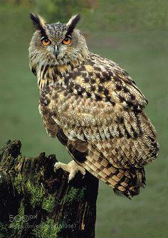 http://ift.tt/1K6283m #animals Eagle Owl by RonaldCoulter http://ift.tt/21rlvsk #pierceandbiersadorf