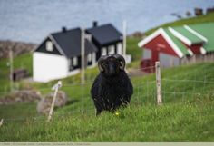 Schwarzer Bock, Färöer Inseln