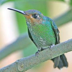 Costa Rica has an amazing variety of hummingbirds. The country's checklist boasts 51 species.