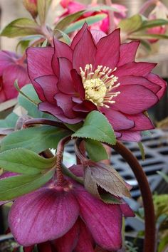 Shade Garden ~ Helleborus Winter Jewels™ 'Red Sapphire' - Glowing, double, rose red flowers - so rich! It is a very well branched and free blooming strain. Takes shade and is deer-resistant. Unusual Flowers, Amazing Flowers, Beautiful Flowers, Shade Garden, Garden Plants, Vegetable Garden, Lenten Rose, Red Sapphire, Decoration Plante