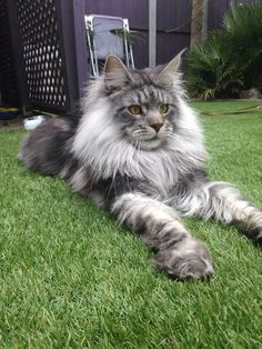 Dashiell, our fabulous Norwegian Forest Cat - more than 3 feet long, and weighing in at about 30 lbs.
