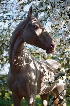Cute Horses, Pretty Horses, Beautiful Horses, Kathiyawadi Horse, Horse Riding, Animals And Pets, Cute Animals, Types Of Horses, Majestic Horse