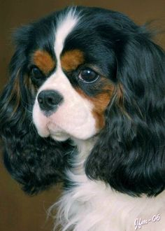 Tricolor Cavalier King Charles Spaniel Looks like my Parti Cocker Spaniel, Snickers!!