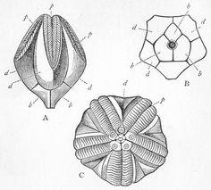 Pentremites pyriformis