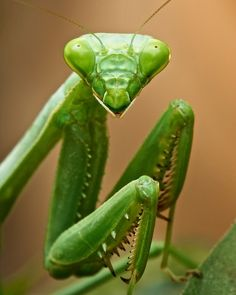 Preying Mantis,green
