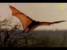 Meet the World's Biggest Bat