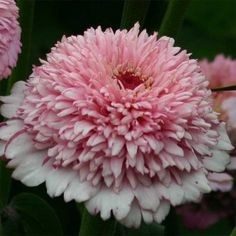 Zinnia 'Zinderella Lilac' is a pretty new zinnia for cutting (click to enlarge)