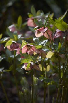 Journal - Arne Maynard Garden Design - Hellebores March 2014