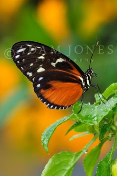 Golden Heliconian Butterfly (Heliconius hecale), Family Nymphalidae, native to Central and tropical South America. Butterfly Pictures, Frames For Canvas Paintings, Butterfly Watercolor, Affordable Wall Art, Color Pencil Art, Photography Workshops, Cool Posters, Beautiful Butterflies, Beautiful World
