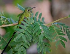 Green-tailed trainbearer - Wikiwand