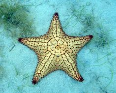In Christian symbolism the Starfish represents the Virgin Mary (Stella Maris which means Star of the Sea) who lovingly creates safe travel over troubled waters and is also seen as an emblem of salvation during trying times. The star as well as the Starfish are seen as celestial symbols and as such, they represent infinite divine love.