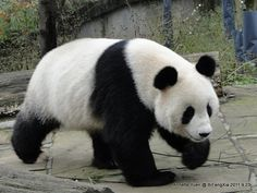 Fu Long - with his distinctive white paw. Born Austria Zoo, now back in Chengdu, China.