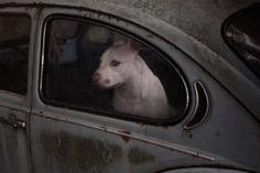 Martin-Usborne-Dogs-In-Cars-15