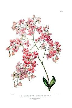 "Illustration of Artorima erubescens (Orig. syn: Epidendrum erubescens) by Sarah Drake. 1843. James Bateman (1811-1897): ""The Orchidaceae of Mexico and Guatemala"", (http://www.botanicus.org/page/769212 Wikimedia."