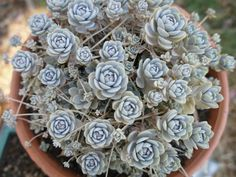 Orostachys iwarenge is a cute, little succulent plant which forms an attractive evergreen groundcover when cultivated in the rock garden...