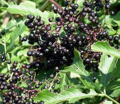 Sending Nick and Archie out this week to gather some #Elderberries for cordial - the sun has brought them out early!