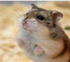 Winter white Dwarf hamster.