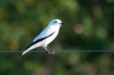 Foto noivinha (Xolmis irupero) por Ivan Angelo | Wiki Aves - A Enciclopédia das Aves do Brasil