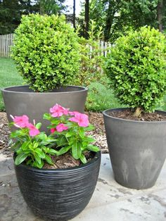 Using potted boxwoods to add evergreen plants to patio