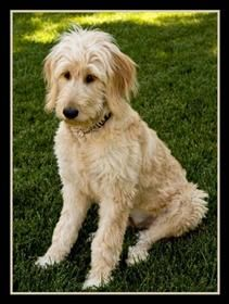 References for Adopted Labradoodle and Goldendoodle Puppies