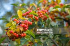 Small ornamental apples on a branch in Jork, Lower Saxony,... #jork: Small ornamental apples on a branch in Jork, Lower Saxony,… #jork