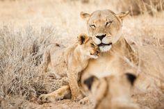 Kunstwerk: 'Moederleeuw met welp in Botswana' van Simone Janssen Lion Pictures, Cute Animal Pictures, Cute Baby Elephant, Giraffe, Beautiful Cats, Animals Beautiful, Animal Tatoos, Baby Animals, Cute Animals