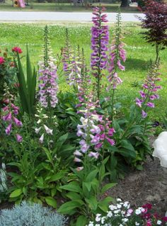 Foxgloves - biennial.  Find out how to grow  http://thegardeningcook.com/foxglove-biennial/