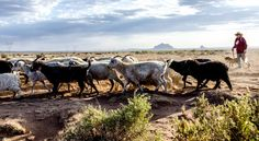 Irene Bennalley herds her sheep and goats across the desert plains near Toadlena, New Mexico, where she welcomes guests to experience traditional Navajo pastoral life. New York Times, Ny Times, Luxury Clothing Brands, Goat Care, Plains Indians, Fantasy Story, New Mexico, Cool Places To Visit, Navajo