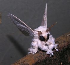 Venezuelan Poodle Moth. Imagine that flying at you from out of the dark.