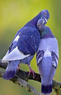 Beautiful Pigeon Photography - Pigeon is a symbol of peace and a religious bird. There are 400 million pigeons in the world. The most common species found is Rock Pigeon. Pretty Birds, Love Birds, Beautiful Birds, Animals Beautiful, Birds Pics, Small Birds, Beautiful Images, Sweet Pictures, Bird Pictures