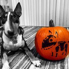 We got inspired to get into the Howl-O-Ween spirit by my friend's, @laurakalman / @jamesmarea, who carved a pumpkin of their fur baby @dutchareaii. Share your pet pumpkin carvings with the hashtag #PetOnAPumpkin    #Repost #dutchareaii #bullterrier #bullterriers #bullterrierlove #bullterrierpics #PetOnAPumpkin #Repost #dutchareaii #bullterrier #bullterriers #bullterrierlove #bullterrierpics #frankenweenie #Halloween #HowlOWeen #KatAndDog #October #pumpkin #pumpkins #carving #jackolantern