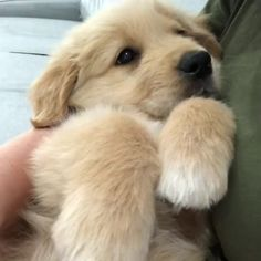 Does Golden Retriever Puppies Sometimes Make You Feel Stupid? Best Of Cute Golden Retriever Puppies Compilation Videos That Make you Amazed and So much Fun! Teacup Pomeranian Puppy, Yorkie, Cute Funny Animals, Cute Baby Animals, Cute Pets, Funny Dogs, Funny Puppies, Cute Dogs And Puppies, Cutest Dogs