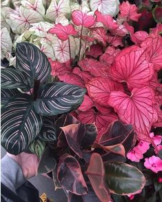 Ted Lare garden center in Iowa! the plants are a calathea ornata, a pink caladiu… Ted Lare garden center in Iowa! the plants are a calathea ornata, a pink caladium and a ruby rubber tree Garden Plants, Indoor Plants, Decoration Plante, Plant Aesthetic, Pink Plant, Plants Are Friends, Foliage Plants, Ficus, Plant Decor