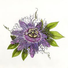 """""""Passion Flower"""" by Wendy Hollender (colored pencil)"""