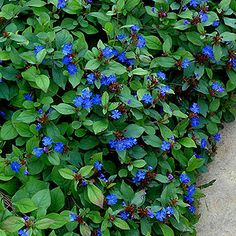 Campanula poscharskyana camgood pp 13161 lavender flowers ceratostigma plumbaginoides plumbago or leadwort is a fine groundcover with cool blue flowers mightylinksfo