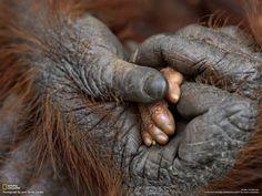 赤ちゃんの手を握るオランウータン | ナショナルジオグラフィック日本版サイト