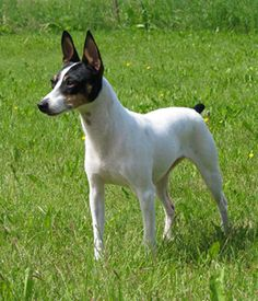 Toy Fox Terrier. Get a Free Consultation for your #toydog #breed from our Friends at Nature's Select #Petfood http://naturalpetfooddelivery.com/nsd/usa/free-consultation/