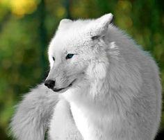 Elegant white wolf