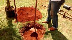 Como plantar Coqueiro Anão!!!