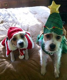 images of christmas jack russells | Ready for Christmas | Jack Russell Terriers