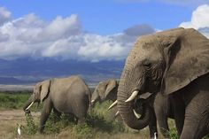 Mass Killings Can Haunt Elephants for Decades - Wired Science~ African elephants that have lived through the trauma of a cull—or selected killing of their kin—may look normal enough to the casual observer, but socially they are a mess. That's the conclusion of a new study, the first to show that human activities can disrupt the social skills of large-brained mammals that live in complex societies for decades.