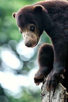 Cutest Sun Bear